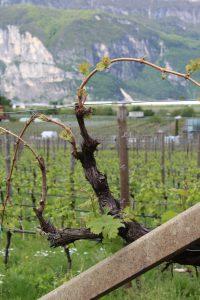 druiven-wijn
